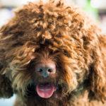 francuski pies dowodny opis rasy