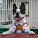 Terrier Bostoński rasa psa
