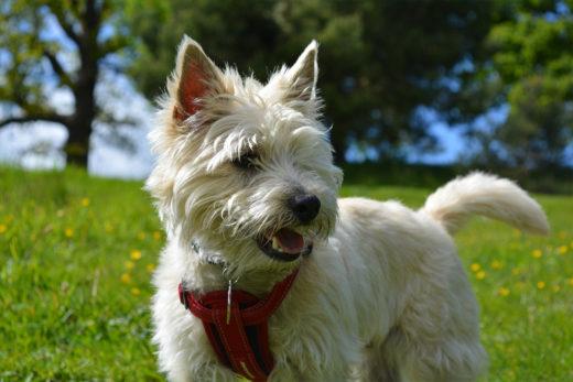 rasa psa Cairn Terrier