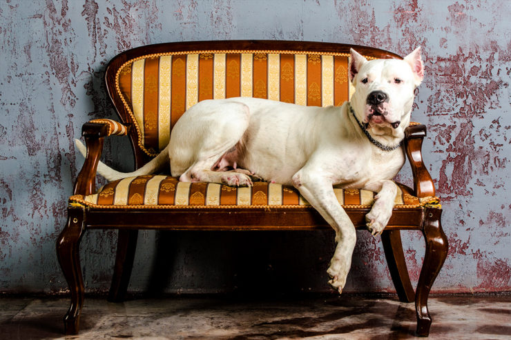 Opis rasy dog argentyński