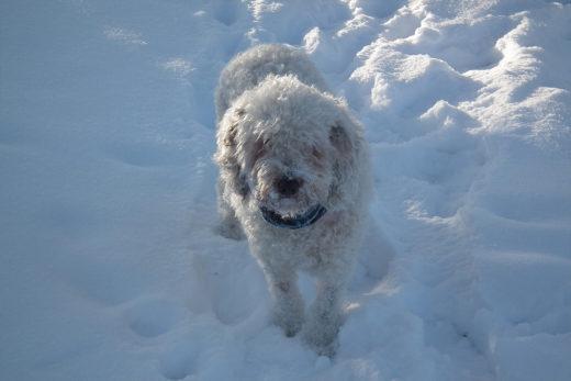 Hiszpański pies dowodny charakter