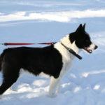 Karelski pies na niedźwiedzie - charakter