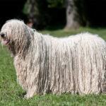Pies mop jaka to rasa