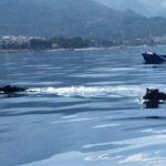 dziki na adriatyku - Autor: Mario Radojković
