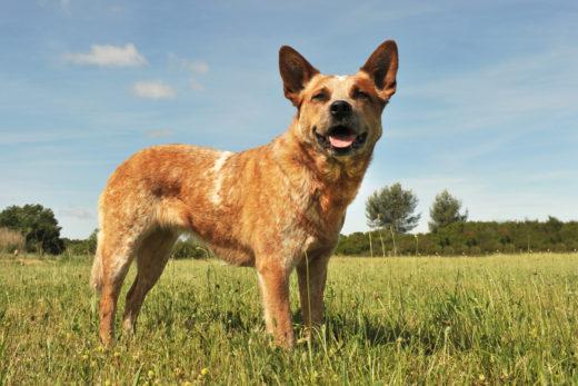 Australian cattle dog opis rasy