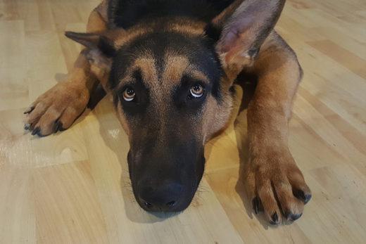 Koronawirus: Nasze psy mogą cierpieć gdy wrócimy do pracy