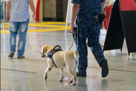 Czy psy wyszkolone w wykrywaniu koronawirusa mogą być rozwiązaniem problemów na lotniskach?