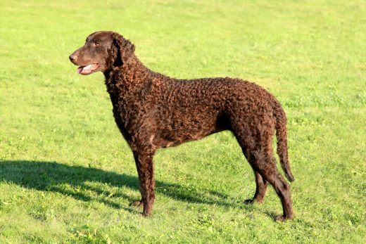 CURLY COATED RETRIEVER – CHARAKTER