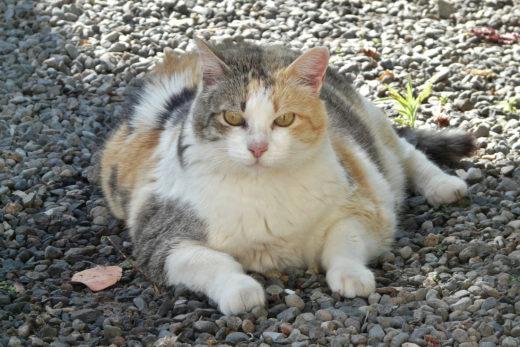 Otyłość u kota - jak sobie z nią poradzić?