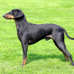 Manchester Terrier - charakter