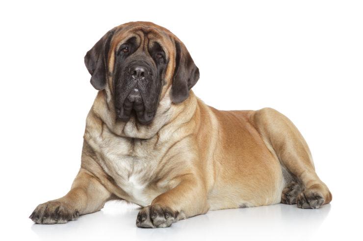 Mastif angielski - charakter