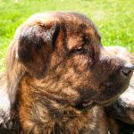 Mastif hiszpański - charakter