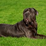 Mastif neapolitański - charakter