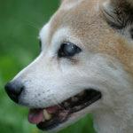 Ślepy pies - jak ułatwić mu poruszanie się?