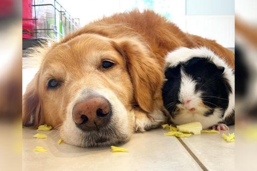 Pies i świnka morska - wielka przyjaźń