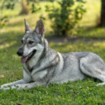Psy podobne do wilka - SAARLOOSWOLFHOND