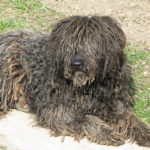 Pies puli opis rasy i charakter