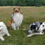 Najpopularniejsze rasy psów według AKC