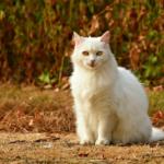 Jak usunąć kołtuny u kota?