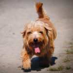 Norfolk terrier - charakter