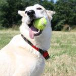Pies potrafi oszukiwać?