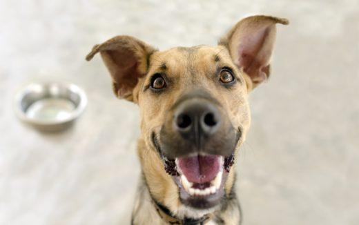 Zdrowie, lśniąca sierść, błysk w oku i nieskończone pokłady energii - który opiekun nie chciałby właśnie w takiej formie widzieć swojego czworonoga? Jednym z najważniejszych elementów na to wpływających jest codzienna dieta. Jak karmić psa, by był silny, zdrowy i radosny? Sprawdź!
