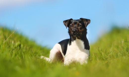 Duńsko szwedzki pies wiejski - pielęgnacja