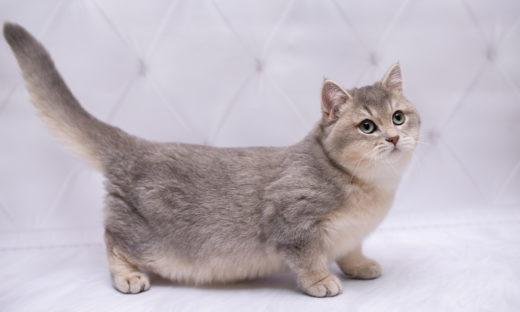 Munchkin kot z krótkimi łapkami - charakter