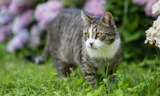 Kot domowy - historia