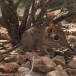 senga-somalijska