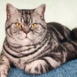 Kot amerykański krótkowłosy - opis rasy