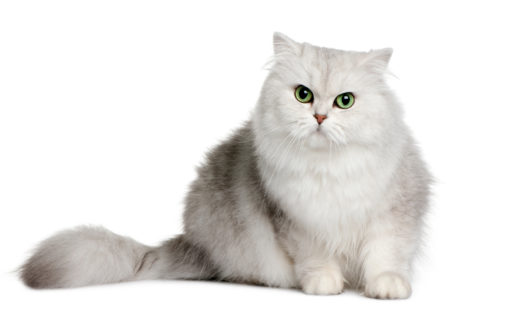 Kot brytyjski długowłosy - charakter