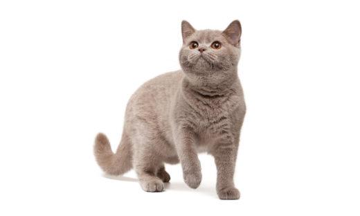 Kot brytyjski liliowy - charakter