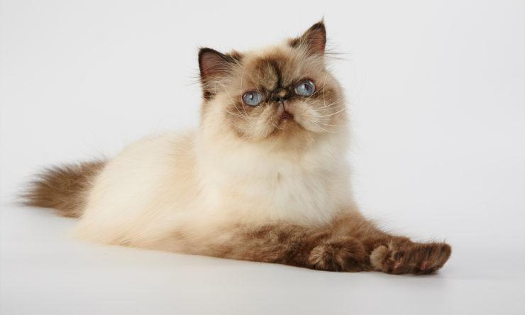 Kot himalajski - zdrowie i żywienie