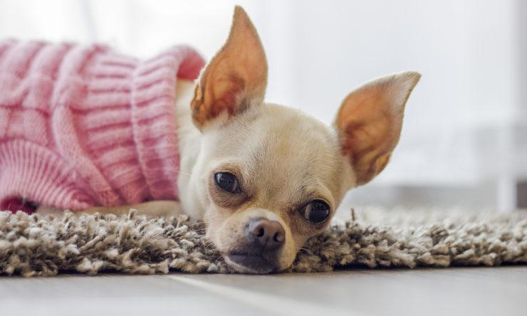 Nosówka u psa - objawy