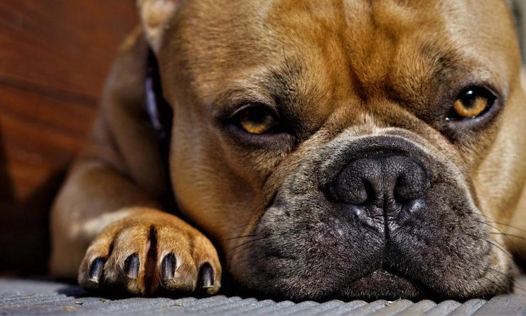 Ropiejące oczy u psa - leczenie