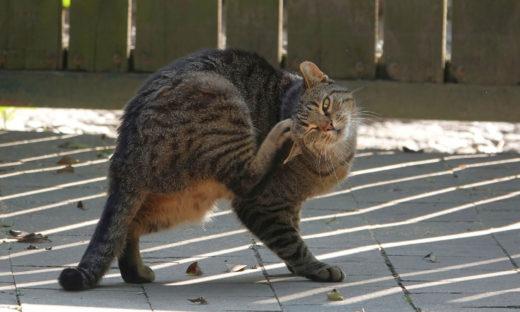Świerzb koci - gdzie występuje