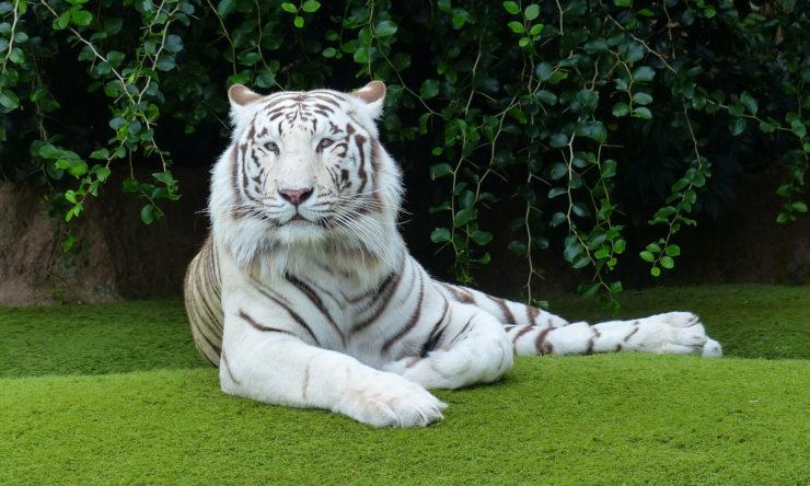 Tygrys - charakterystyka